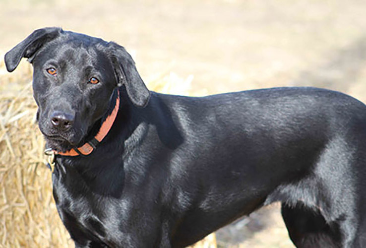 Corona, Corona and dogs, Corona and animals, Labrador Breeders Oregon