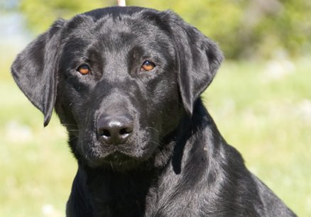 Corona, Corona and dogs, Corona and animals, Labrador Breeder Montana