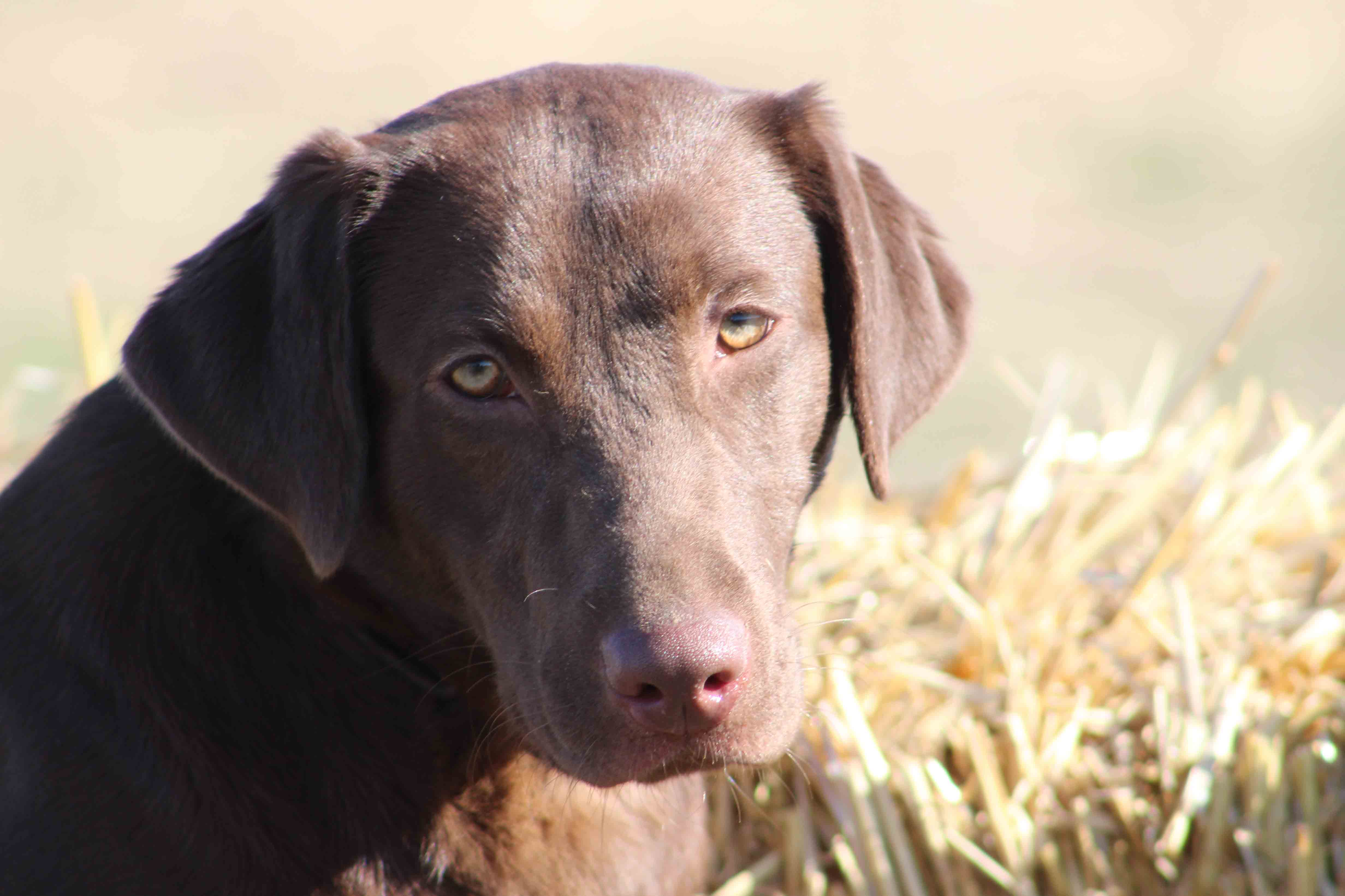 Corona, Corona and dogs, Corona and animals, Labrador Breeder Northern California