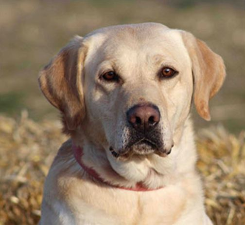 Corona, Corona and dogs, Corona and animals, Labrador Breeders Oregon, Washington