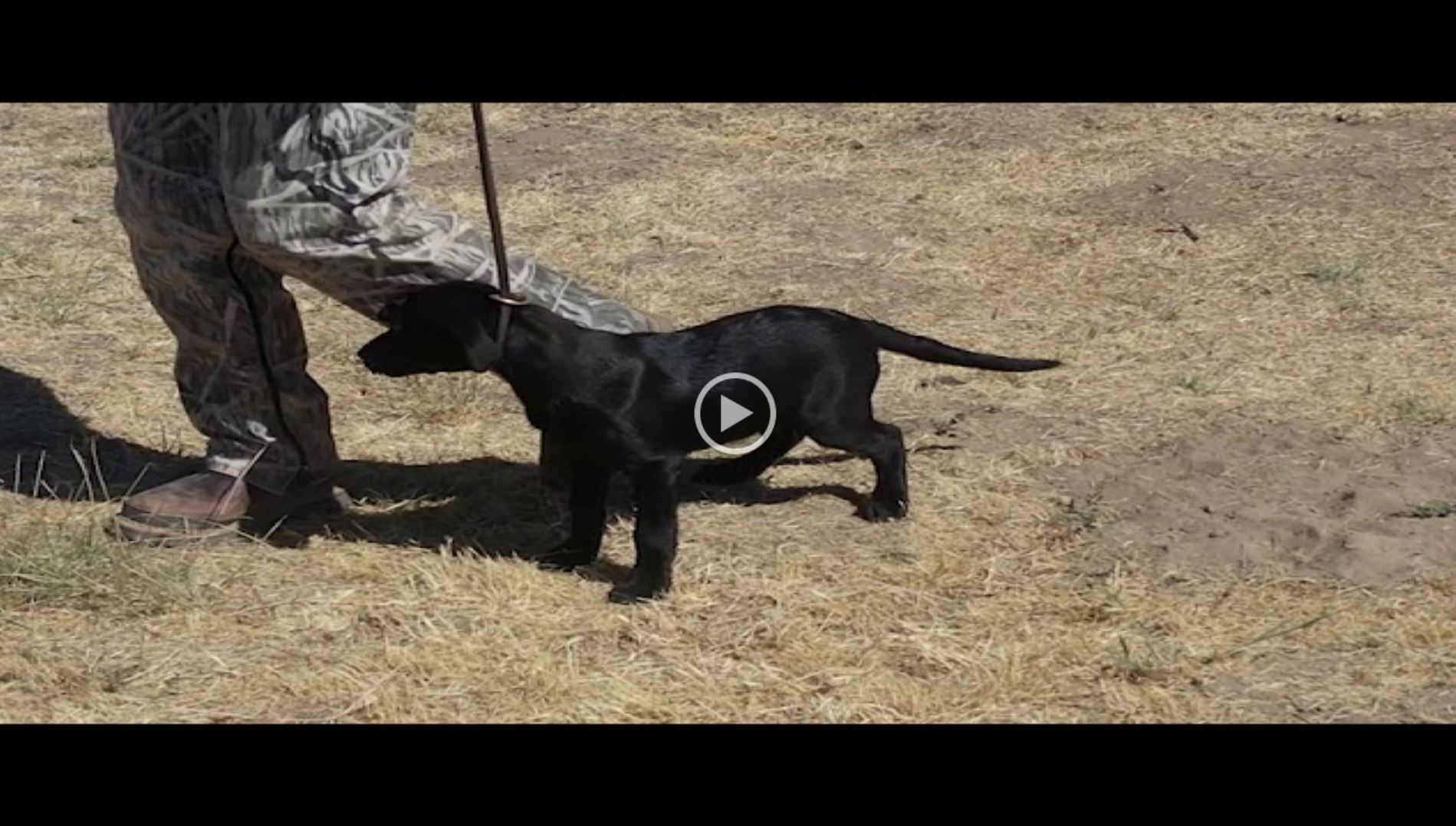 Loves Labradors, Brown Lab, Labradors Oregon Labradors Washington